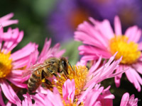 Bee on Fall Asters