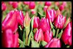 Tulips 24