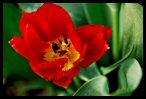 Tulips 17