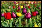 Tulips 30