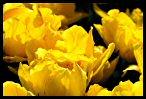 Tulips 14