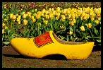 Tulips 29