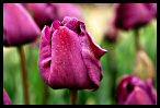 Tulips 26