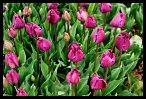 Tulips 27