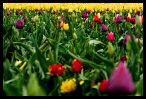 Tulips 23