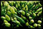 Tulips 33